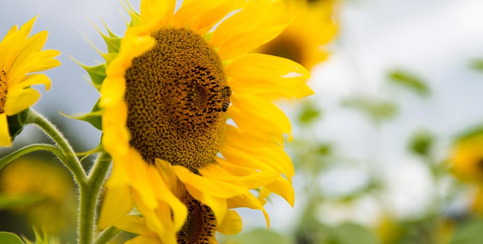 santosha-sunflower3-byronyoga